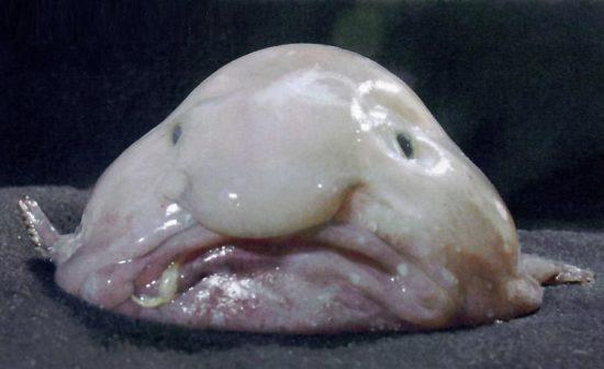 Der Blobfisch