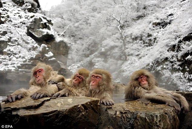 Mono de nieve japonesa 01