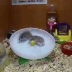 To hamstere på en tredemølle