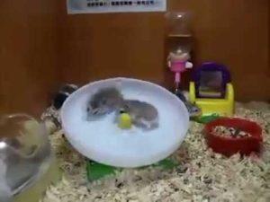 Zwei Hamster auf dem Laufrad
