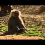 Baboons kidnap and pull big these puppies as pets