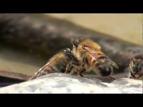 Was trinken Honigbienen?
