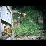 WOJNA: 30 Hornets przeciw 30'000 PszczoÅ'y miodne