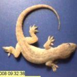 Scomposto Gecko mangiato dalle formiche e