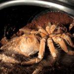 hautung en tarantula i timelapse