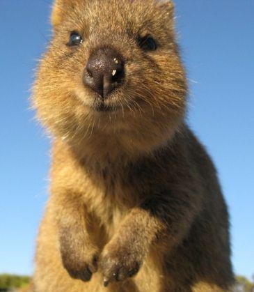 Quokka - Das wohl glücklichsten Tier der Welt