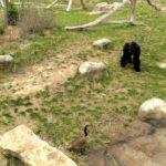 Gans vs Gorilla