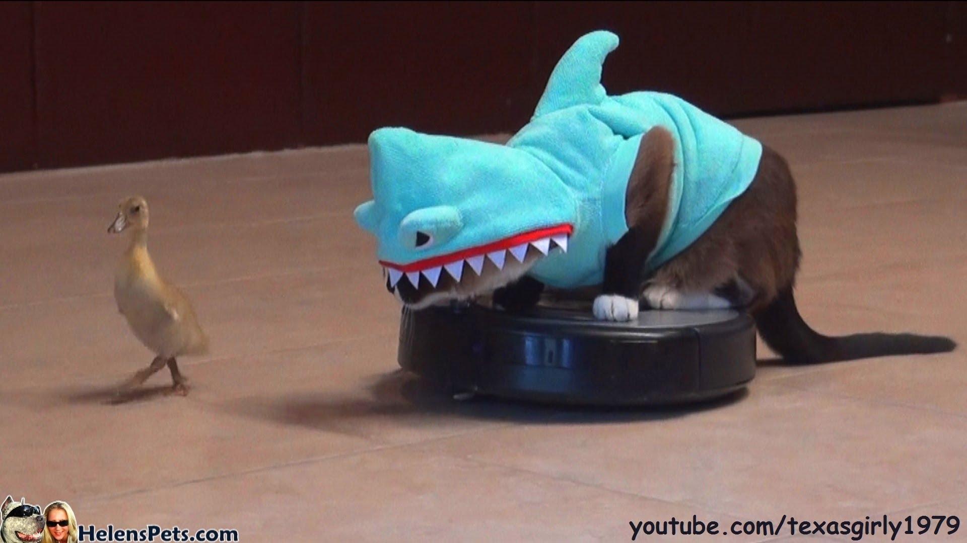 Katze Im Hai Kost 252 M Sitzt Auf Dem Roomba Und Jagt Eine