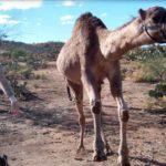 Rennende Kamele sehen so bescheuert aus