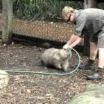 Overweight Wombat wants to play – Now!
