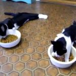 Deux chats après une anesthésie