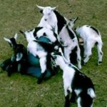 Bathing in goat babies
