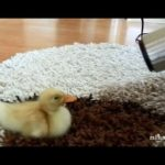 Cute Duckling – Lindo patito