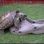 Schildkröte hat Sex mit einem Schuh