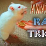Amazing Rat Tricks: Talented rats show their feats
