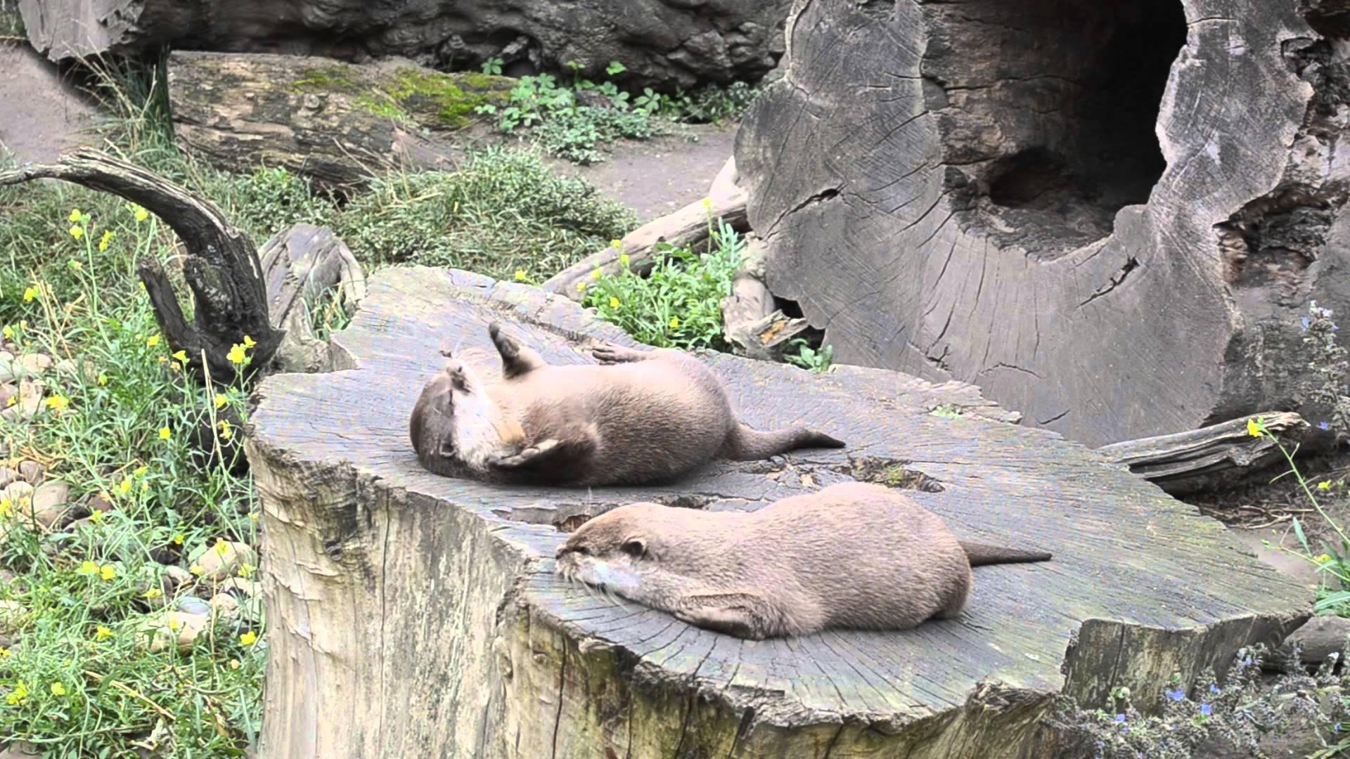 Otter jongliert Stein zwischen seinen Pfoten