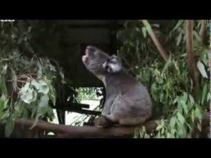 Wie klingt eigentlich ein Koala?