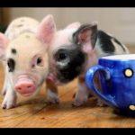 Süsse Mini Schweinchen Compilation