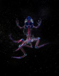 Malamp: Reliquaries - Transparent muterede frøer med farvede knogler