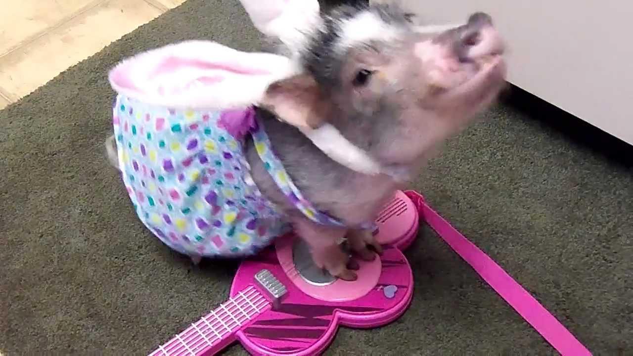 Minischweinchen Thimble kann Gitarre spielen