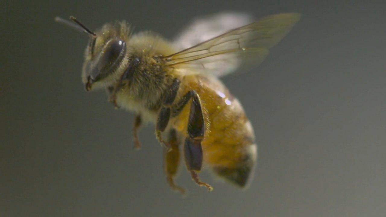 Alles über Honigbienen, gefilmt in Slow Motion