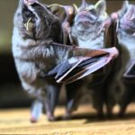 Tanzende Fledermäuse – Dancing Bats