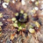 Rose of Jericho Time Lapse