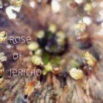 Rose von Jericho im Zeitraffer