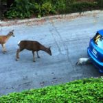 Herd of deer strikes cat