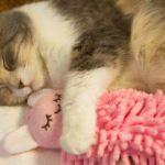 The cat and her stuffed animal
