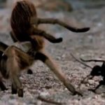 Giant Tarantula vs. Wasp Fighting to Death