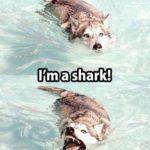 Ik ben een van de Haai!