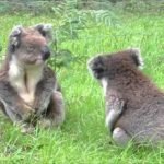 Koalas fighting – oder wie klingen eigentlich streitende Koalas?