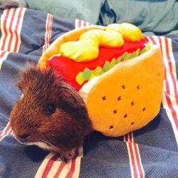 Halloween Kostüm fürs Meerschweinchen