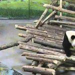 Panda von Eichhörnchen überrascht