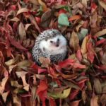 A hedgehog, Playing in the leaves