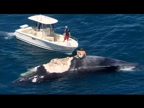 Mann surft auf totem Wal