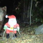 Bär haut Weihnachtsmann um