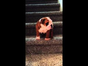 Bulldog puppy and his first steps on the stairs