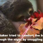 """Baby Sloth """"Monster"""" beim Blüten fressen"""