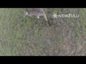 Känguru schlägt Drone vom Himmel