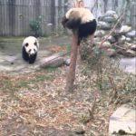 Panda madre trae joven del árbol