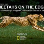 Cheetah with 1200 Filmed frames per second