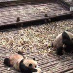 Zumbido Pandas