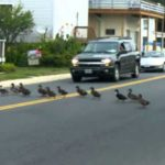 Caution: Ducks cross the street