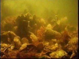 Wie Austern Wasser filtern