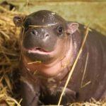 Zwergflusspferd bebé