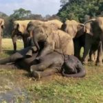 Elephant play Wrestling