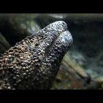 Japanilainen Giant Salamander