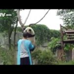 Panda pflücken